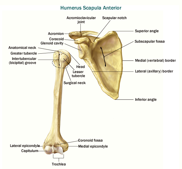 Humerus Anatomical Neck Fracture