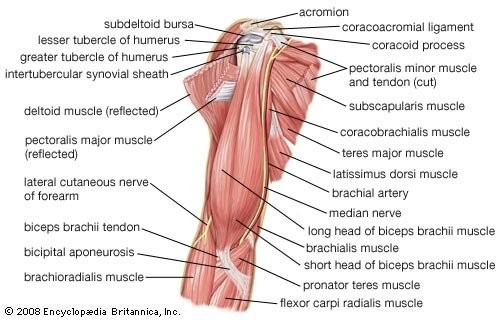 How many muscles are there in upper limb?