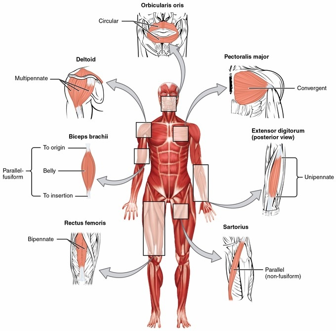 What muscle flexes the trunk?, What muscle flexes the trunk? Functions, Origin,